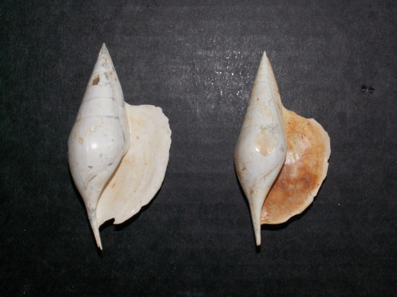 rostellaria Pict0013