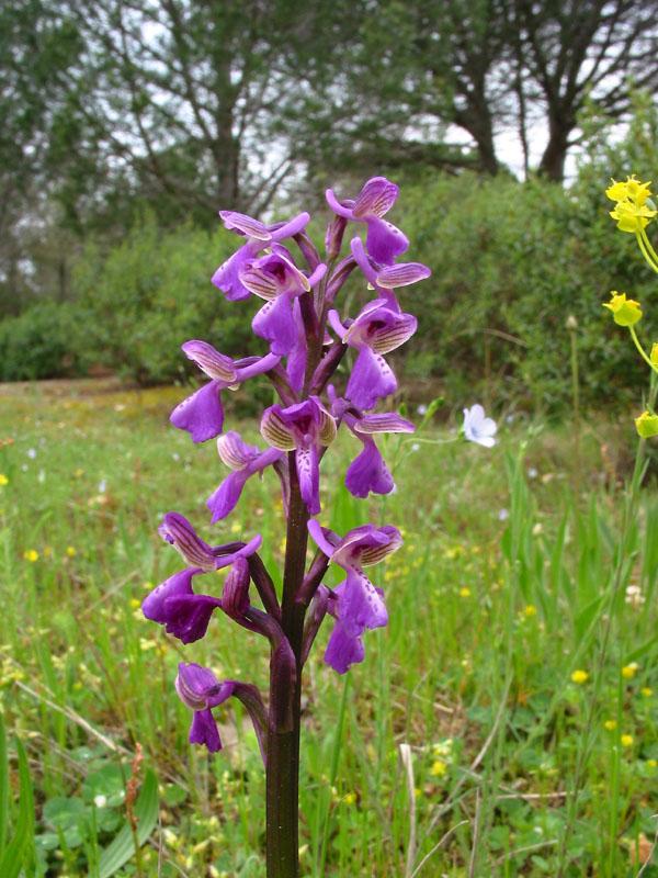 Anacamptis morio subsp. picta ( Orchis peint ) Img_7610