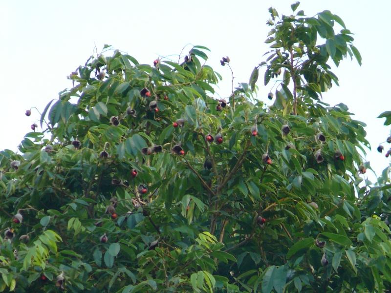 caconnier   ormosia monosperma P1010312