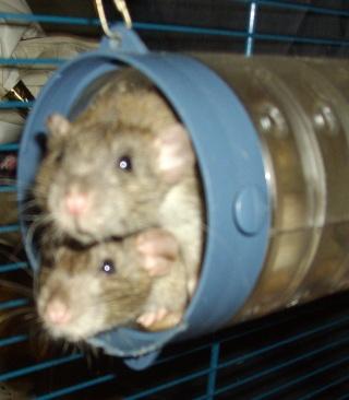 Rats Imgp1311