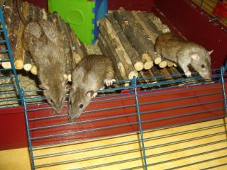 Rats Imgp1313
