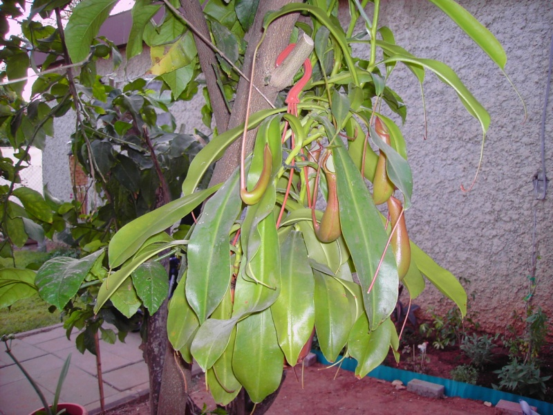 quelle NEPENTHES S ? Alata10