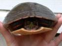 Identification un peu spécial...besoin d'aide [tortue] Photo_10