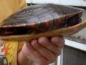 Identification un peu spécial...besoin d'aide [tortue] Photo_12