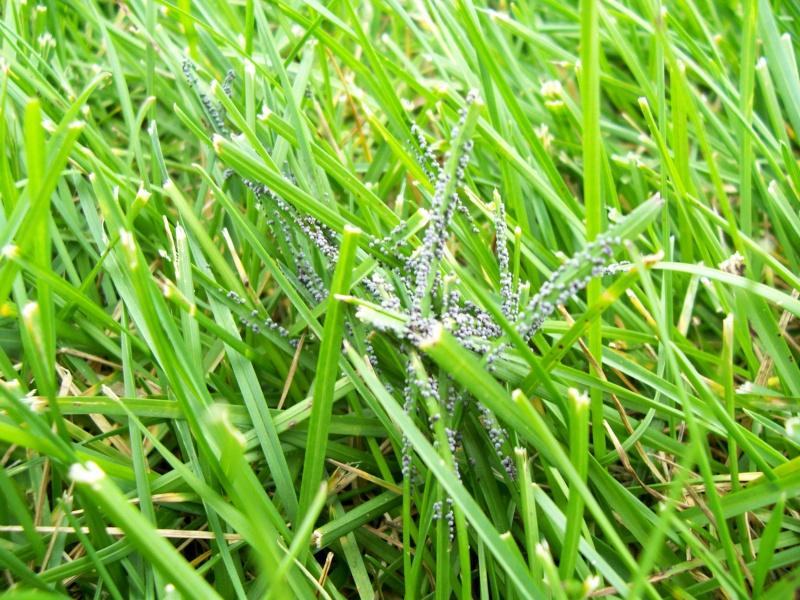 Parasites noirs sur la pelouse Bibitt10