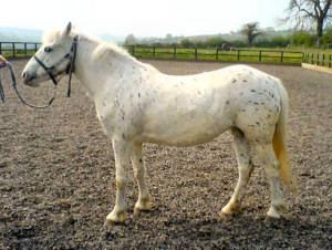 poneys Appalo11