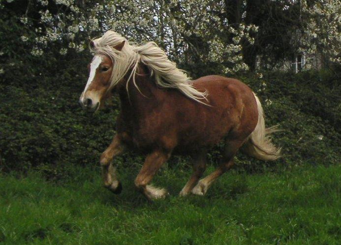 poneys Iroy_g10
