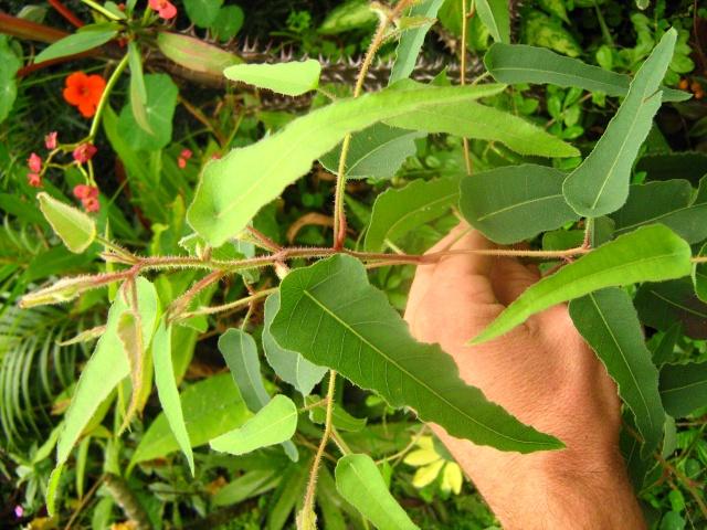 Eucalyptus citriodora Img_0426