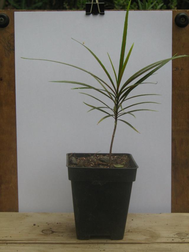 [Celastraceae] Elaeodendron orientale CELASTRACEAE Img_0429