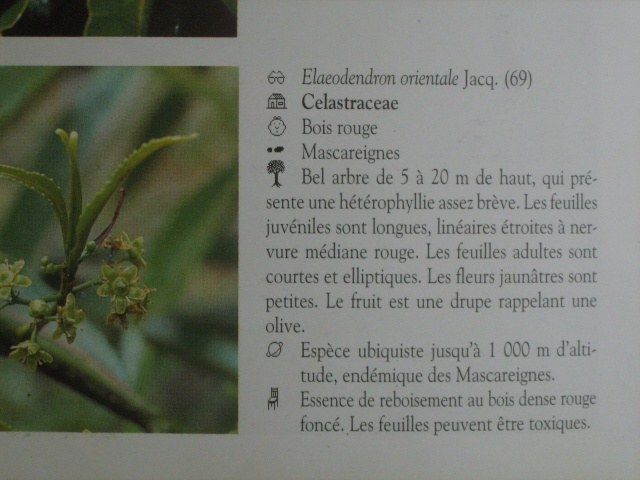 [Celastraceae] Elaeodendron orientale CELASTRACEAE Img_0436