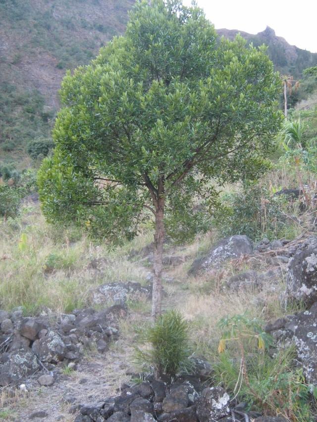[Celastraceae] Elaeodendron orientale CELASTRACEAE Img_0610