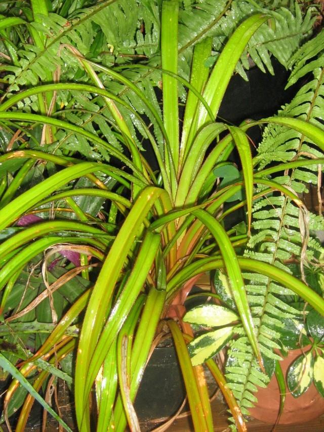 Pandanus utilis PANDANACEAE Img_0910