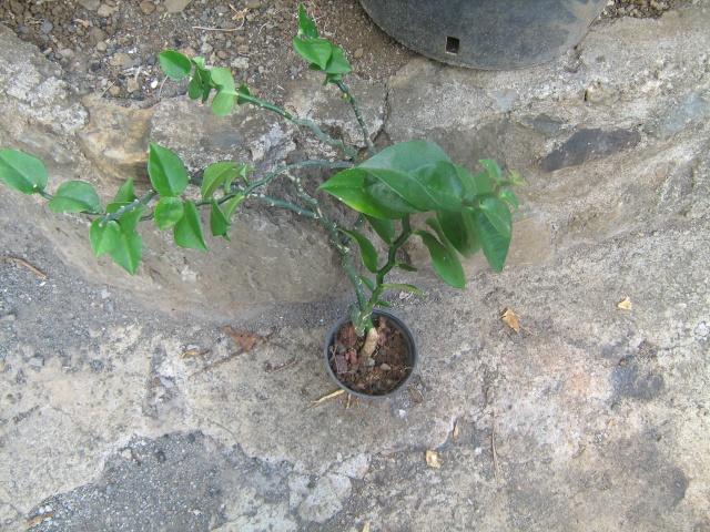 Pedilanthus tithymaloides ? Img_0914