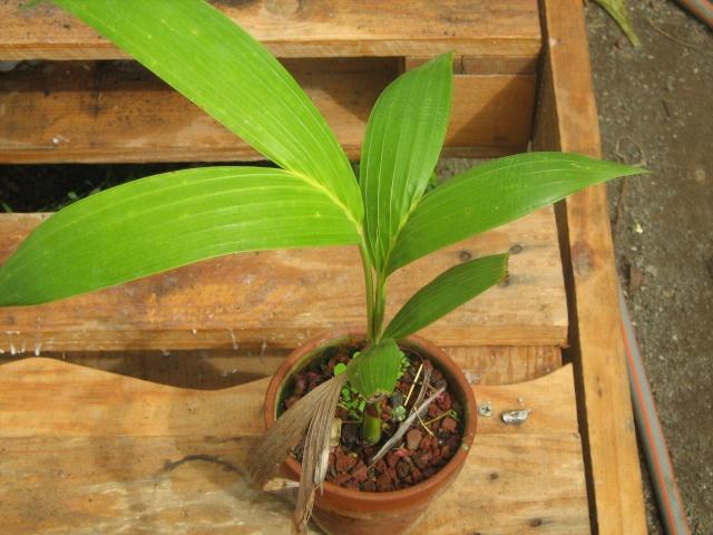 Ptychosperma macarthurii Palmie10