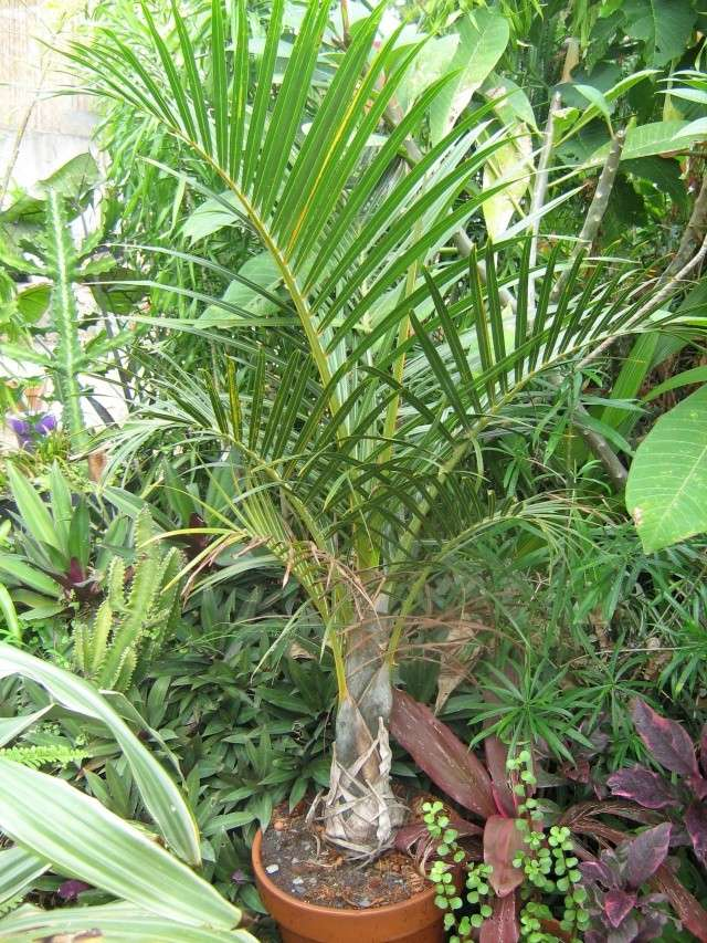 Dypsis decaryi Palmie11
