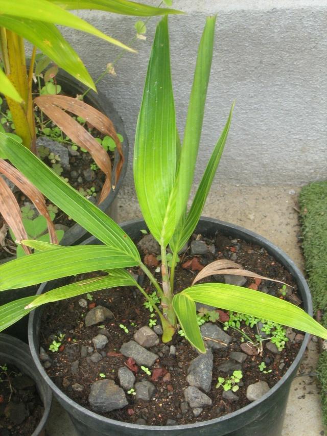 Ptychosperma macarthurii Palmie12
