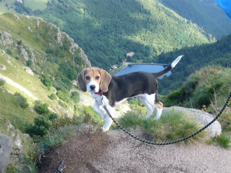Farel, beagle mâle de bientôt 6 mois P1100810