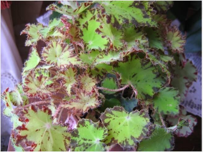 2 begonias inconnus[Begonia cléopatra et ???] Capt-110