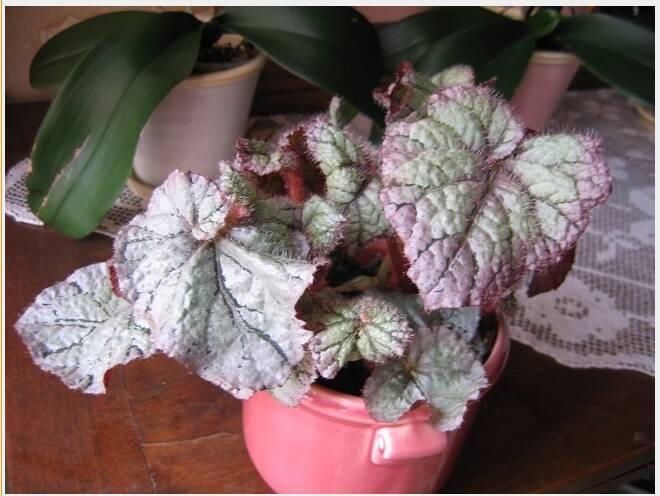 2 begonias inconnus[Begonia cléopatra et ???] Capt-111