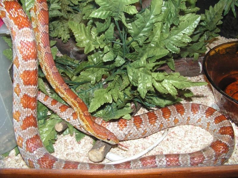 mes reptiles Elaphe10