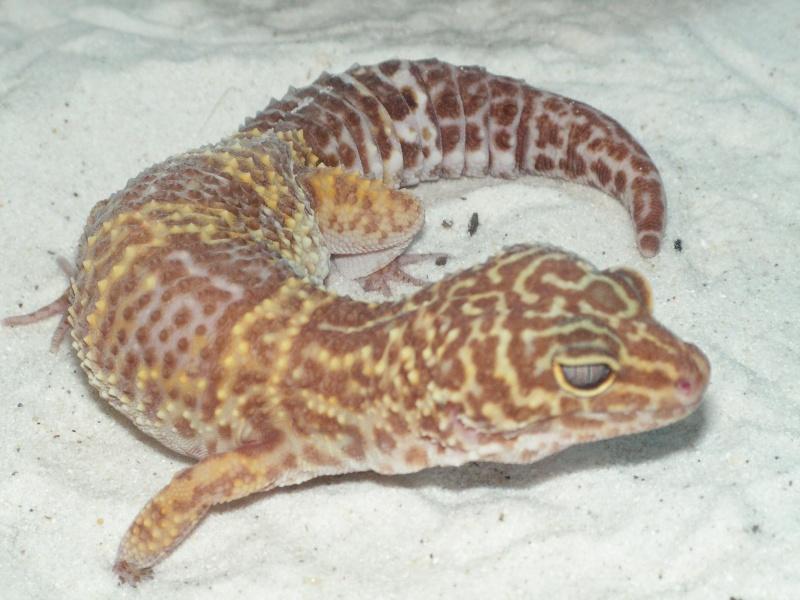 mes reptiles Leopar10