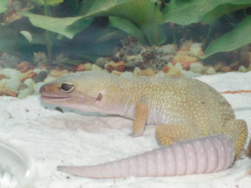 mes reptiles Leopar11