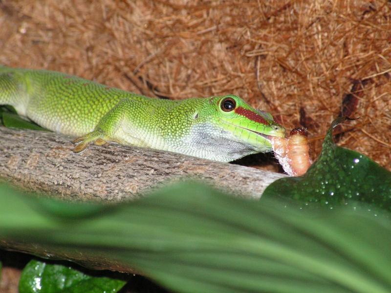 mes reptiles Phelsu10