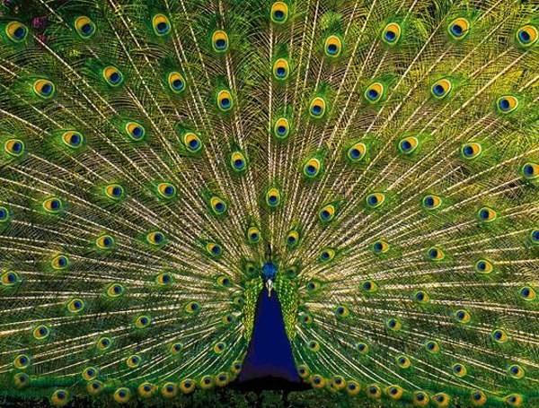 peacock 20_bmp10