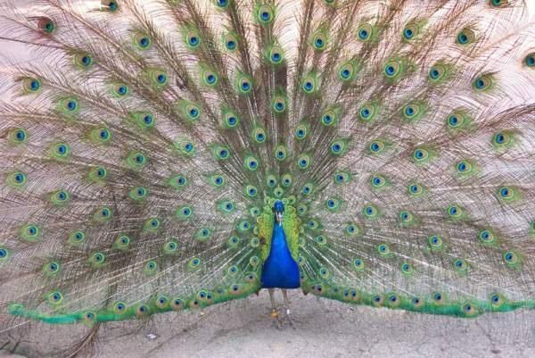 peacock Untitl10