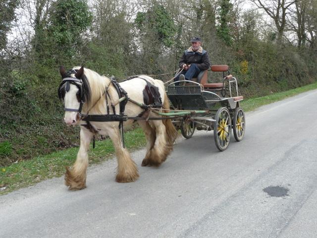 Cherche Irish Cob / Tinker bien mis en attelage ! P1070511