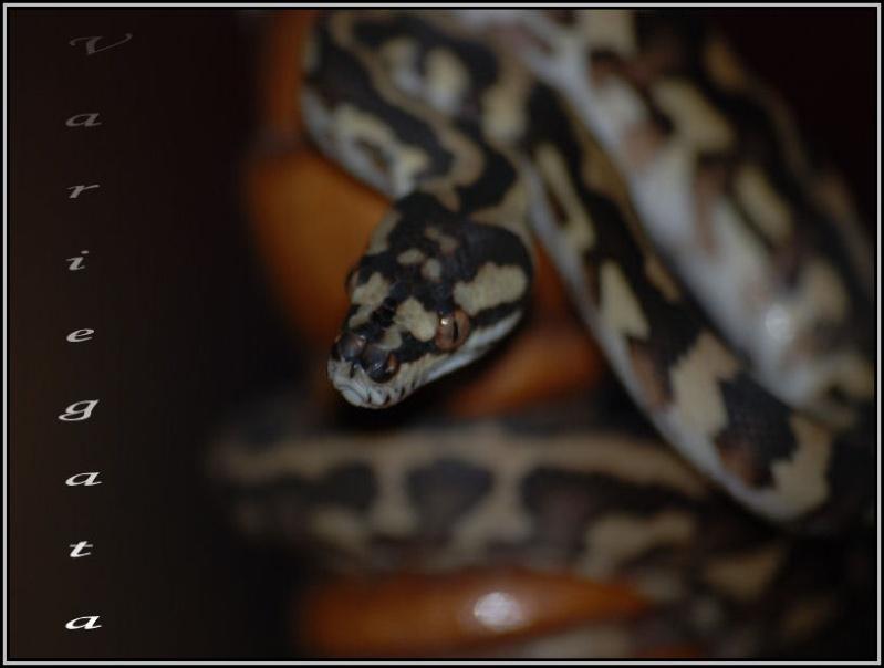 Morelia variegata !!! Varieg11
