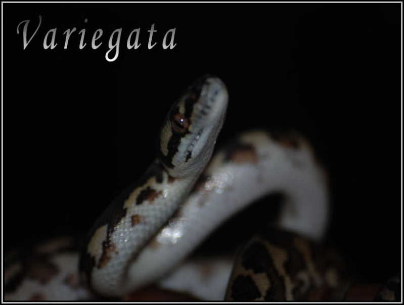 Morelia variegata !!! Varieg12