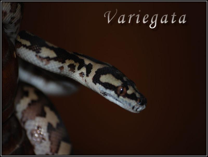 Morelia variegata !!! Varieg13