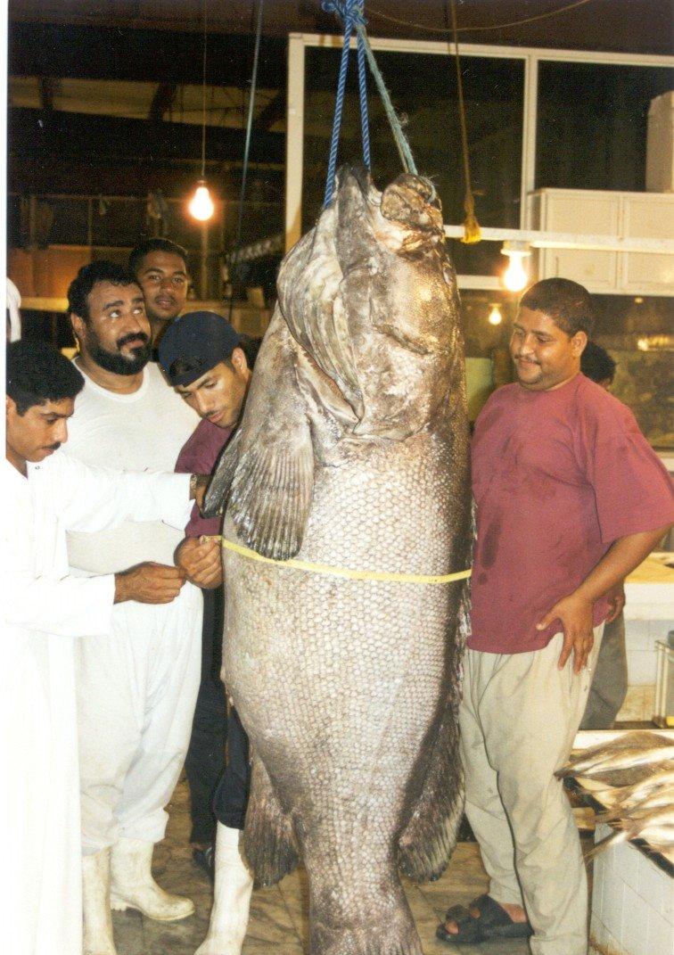 ااكبر هامور في البحرين Hamoor10