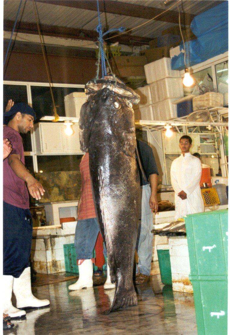 ااكبر هامور في البحرين Hamoor11