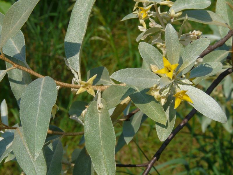 Elaeagnus angustifolia, Olivier de Bohême - Page 4 Elaeag10