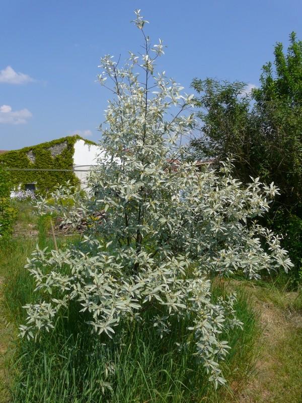 Elaeagnus angustifolia, Olivier de Bohême - Page 4 Elaeag12