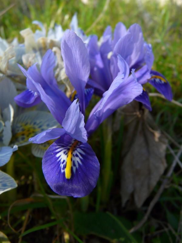 Iris reticulata Irisre10