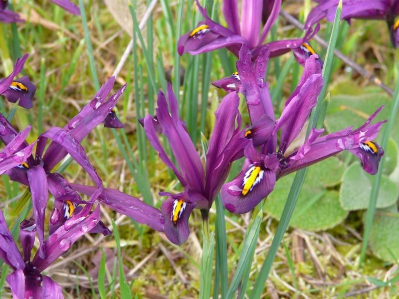 Iris reticulata - Page 2 Irisre12