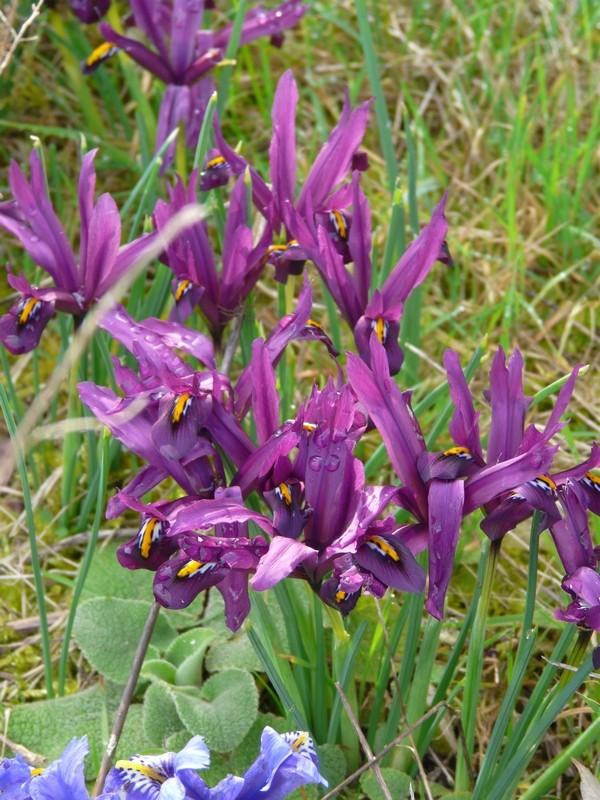 Iris reticulata - Page 2 Irisre13