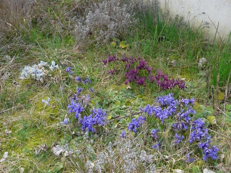 Iris reticulata - Page 2 Irisre14