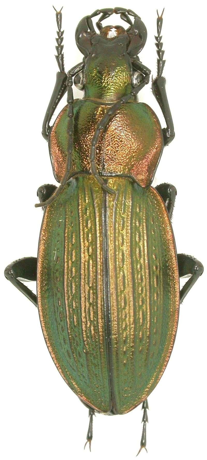 [C.(Morphocarabus) monilis interpositus] Episy F-77 Dscn0210