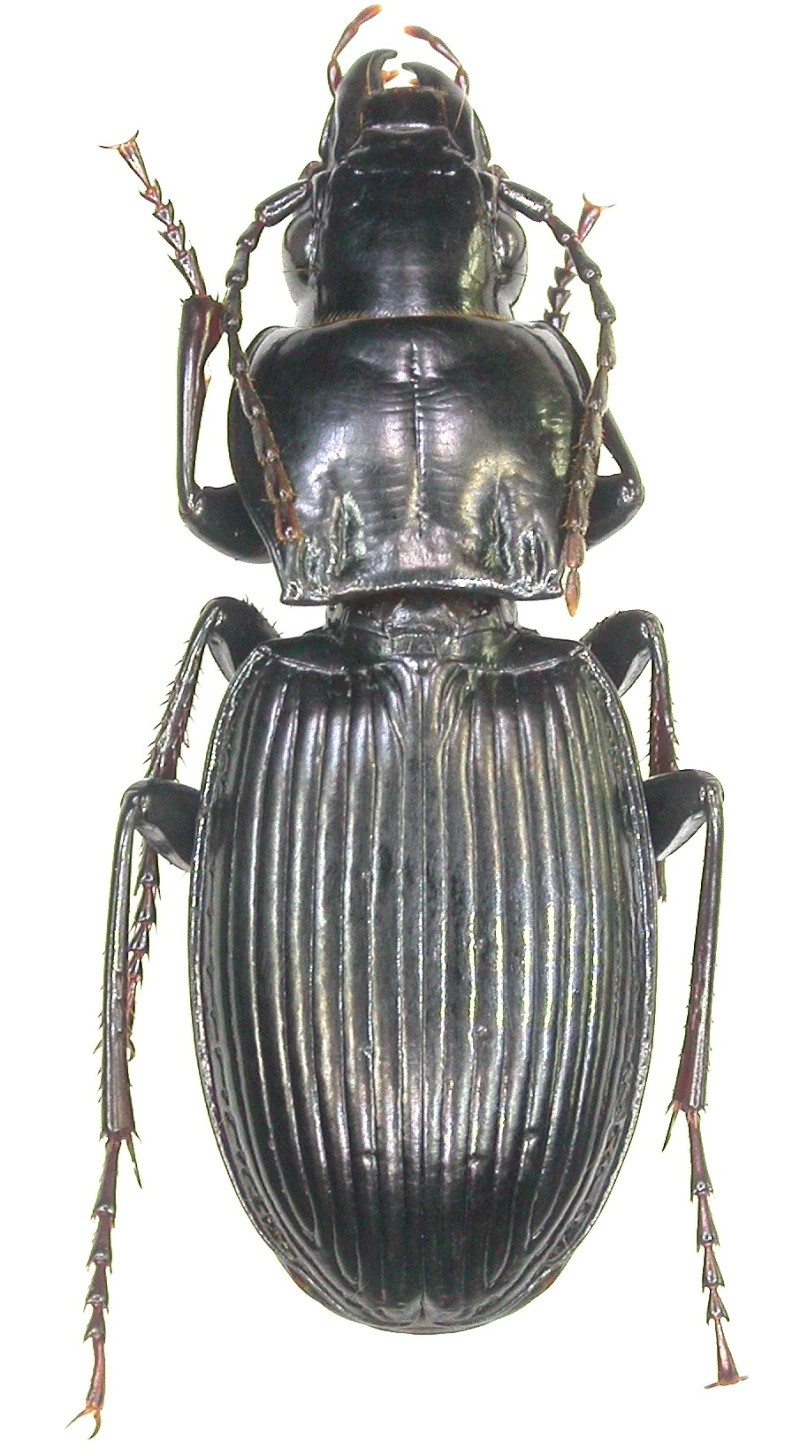 [P.(Feronidius) brevipennis sousae] : Portugal Dscn0416
