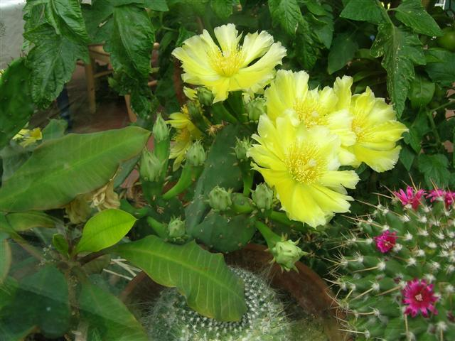 Opuntia humifusa pas avare! Dscn6526