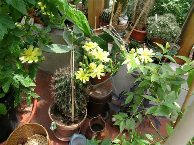 Opuntia humifusa pas avare! Dscn6610
