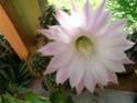 encore une fleur chez moi! Dscn6522