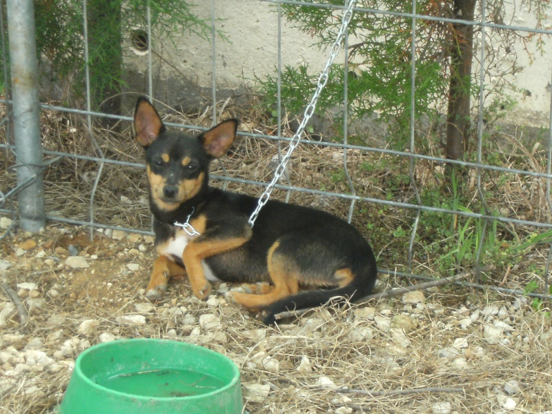 Feira de cães - Clube caçadores Borda do Campo Feira_13