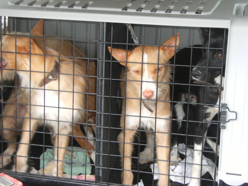 Feira de cães - Clube caçadores Borda do Campo Feira_16