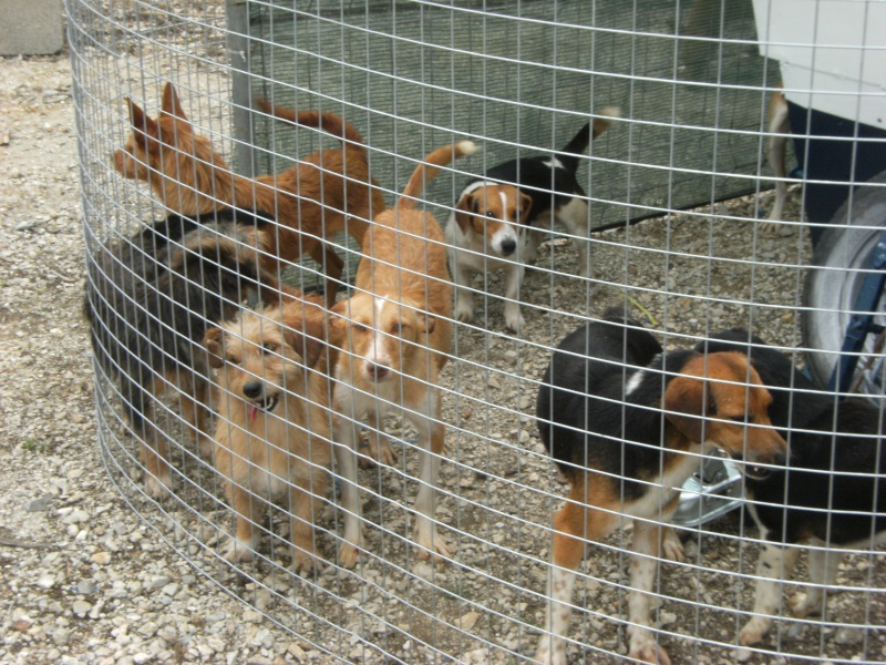 Feira de cães - Clube caçadores Borda do Campo Feira_18