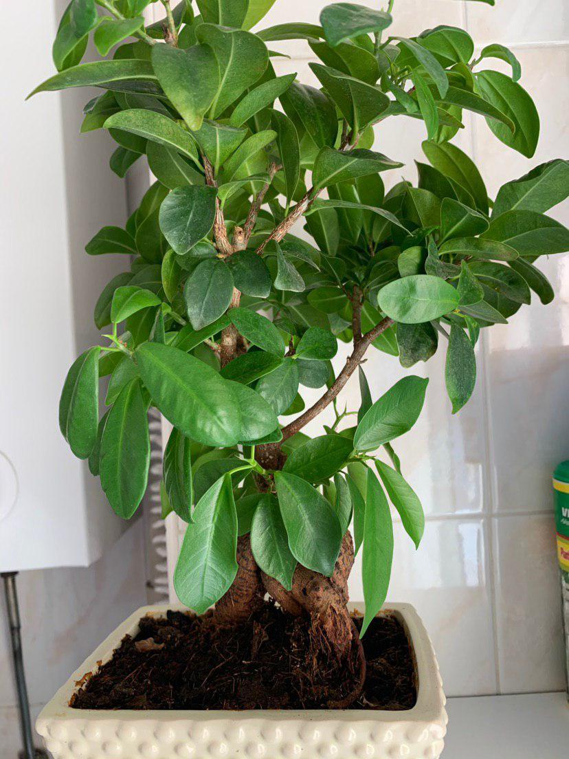 Mi primer bonsai - Ficus ginseng Photo_10